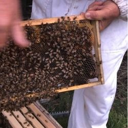 Mestské včely v Sydney