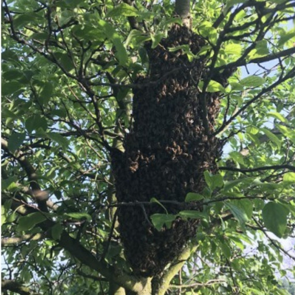 Odchyt včelieho roja - Medáreň