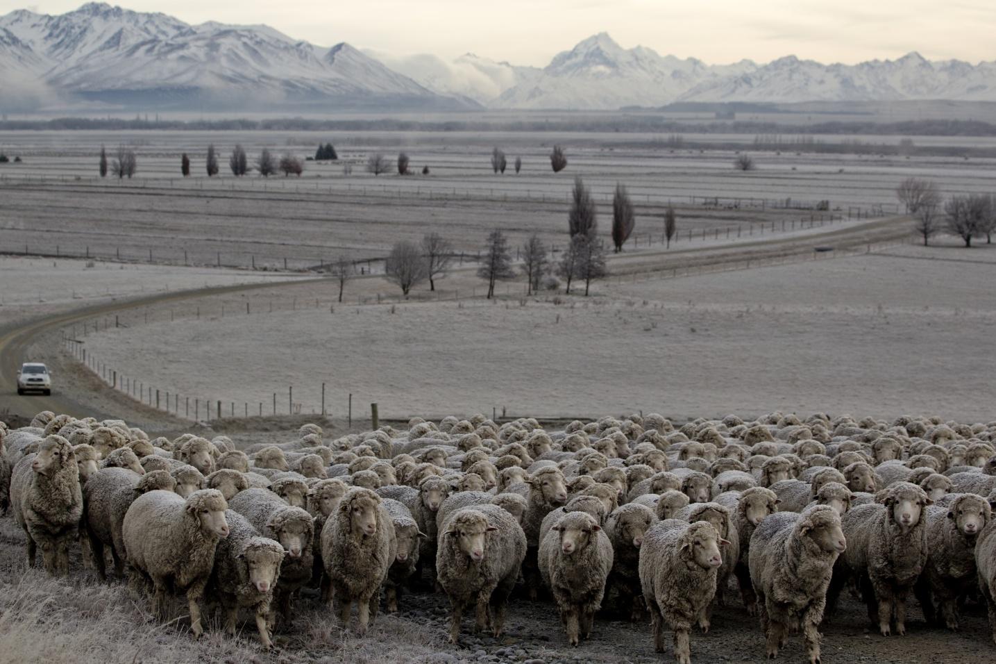 BRAND-2017-SHEEP-GLENCARIN-STATION-CAMILLA-RUTHERFORD