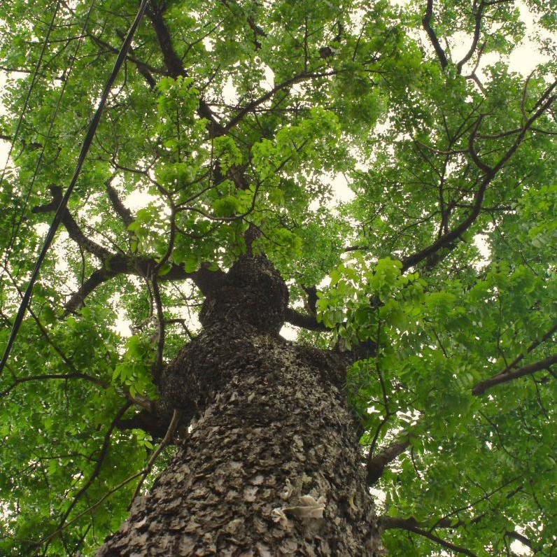 Mahoganytreex