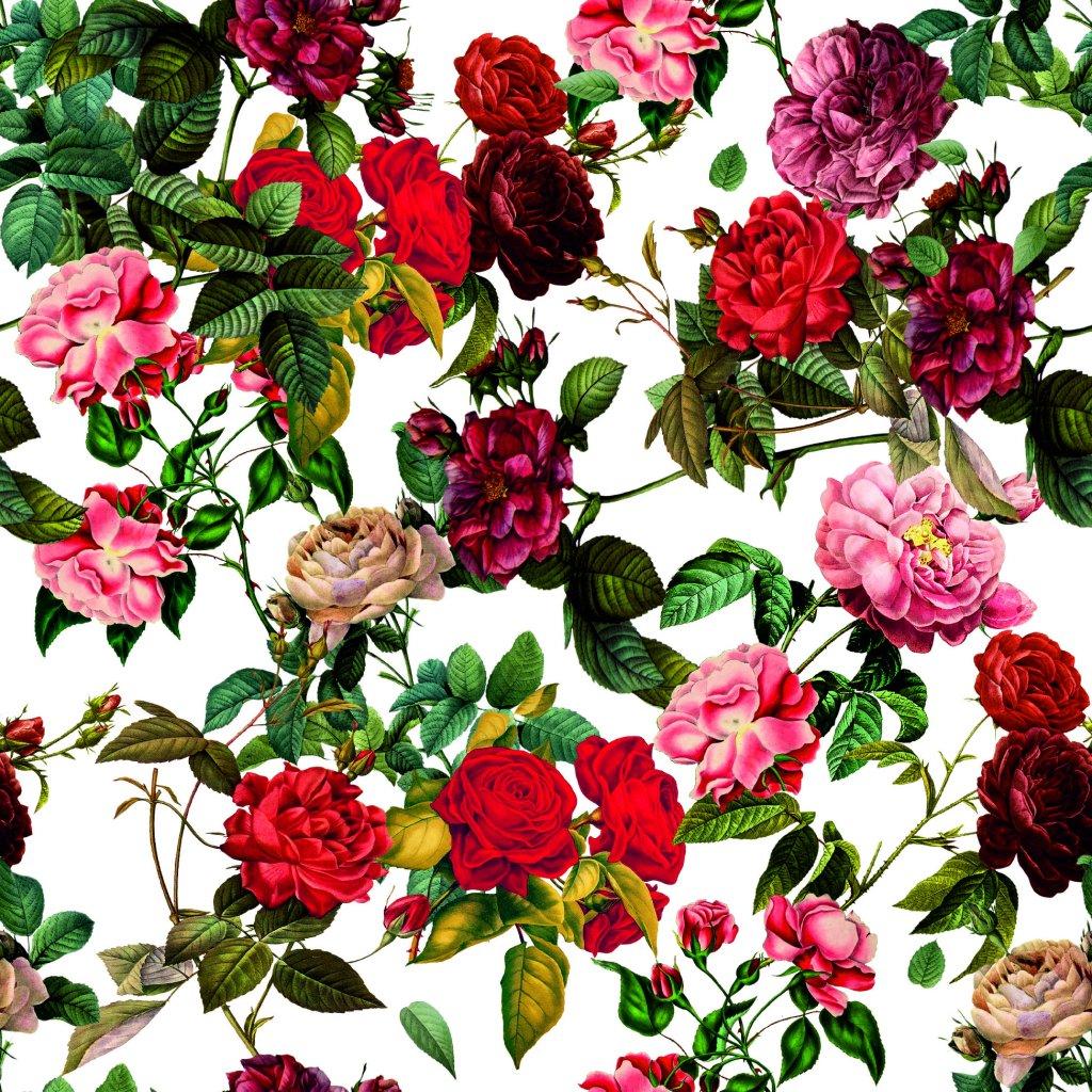726035 1 růže na bílé