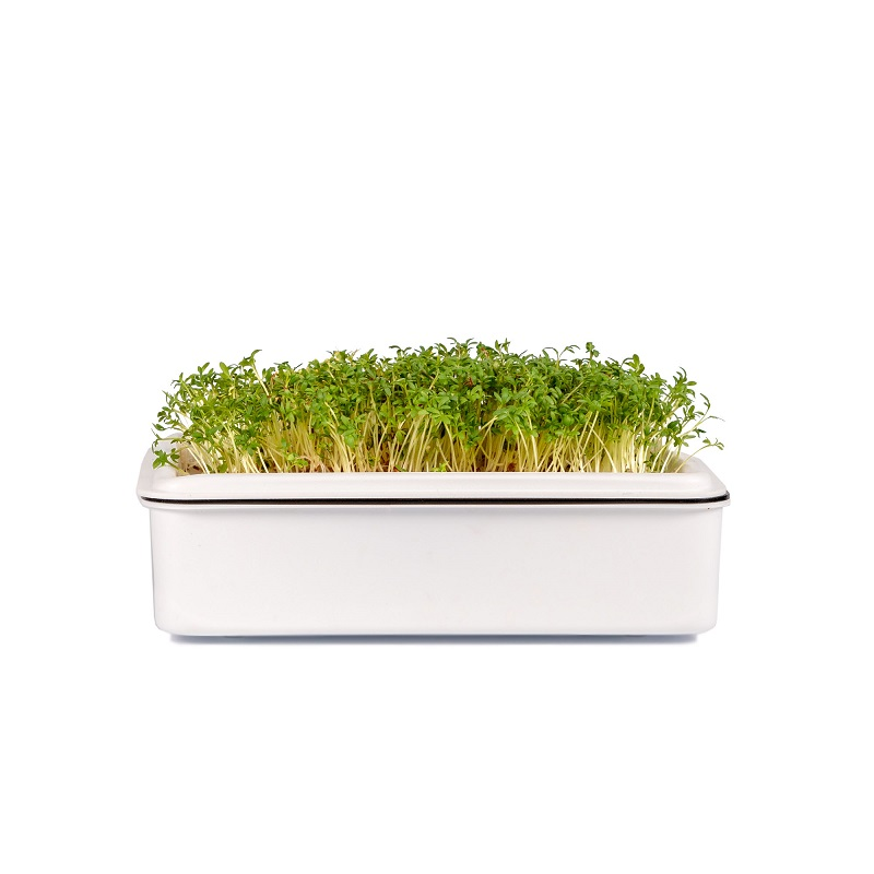 Microgreens řeřicha