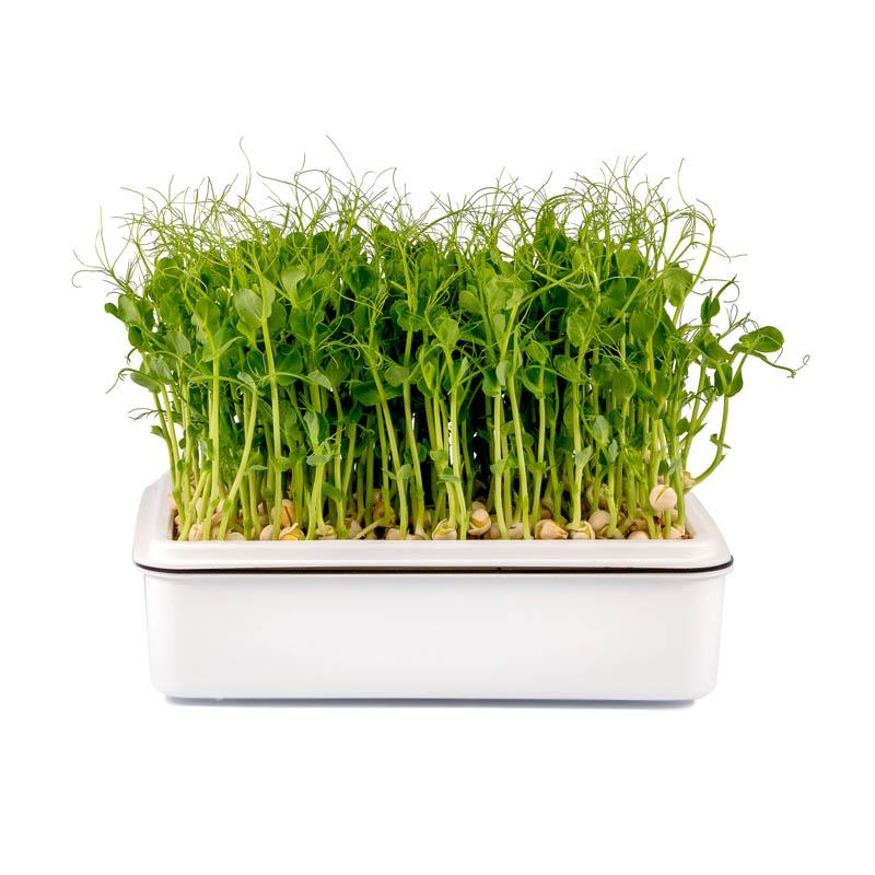 Microgreens hrášek