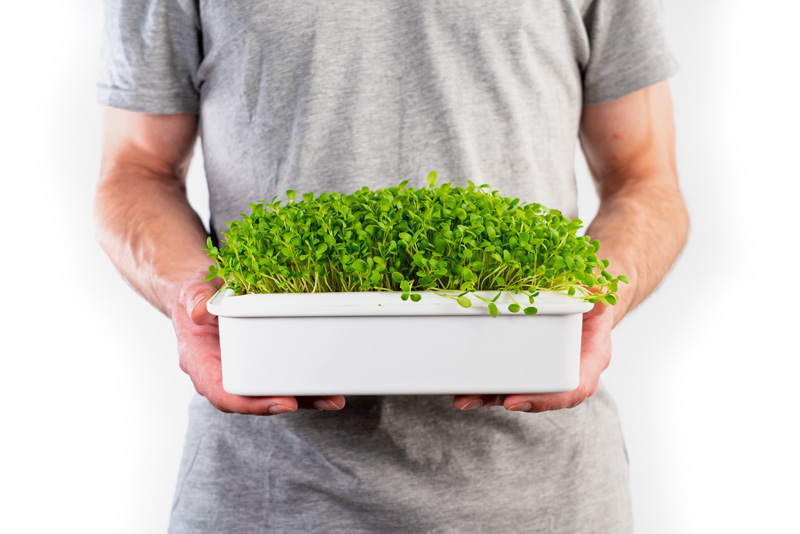 microgreens jetel