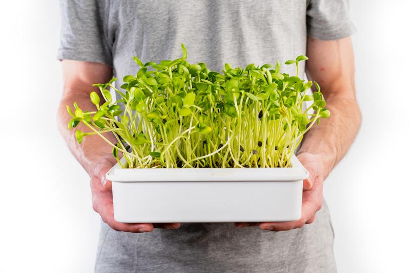 microgreens slunečnice
