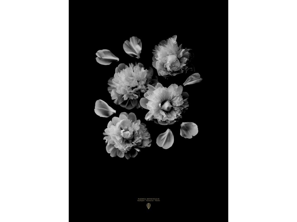 Plakát Paeonia Officinalis