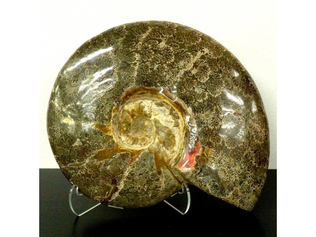 Amonit Cleoniceras celý