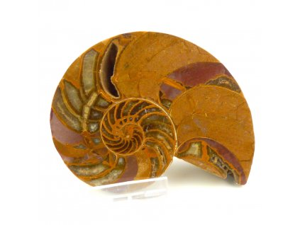 Amonit Nautilus