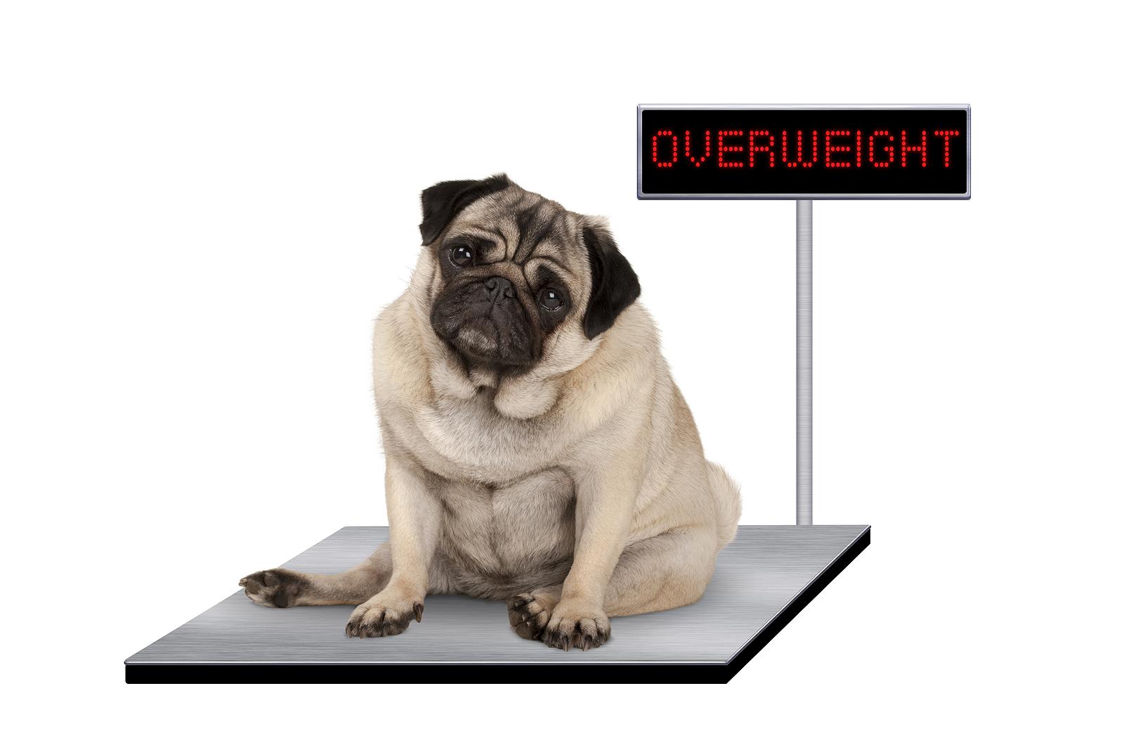 Mitől lesz túlsúlyos a kutyám, és mit tehetek ellene?