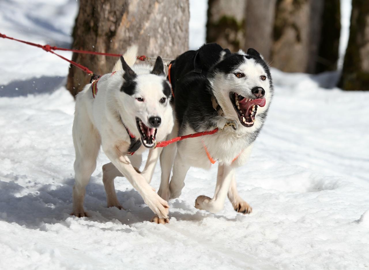 Běžkování se psem