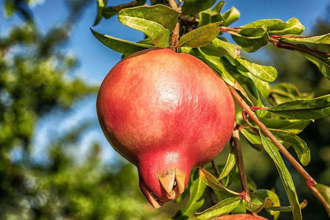 Granátové jablko – lahodné ovoce bohaté na polyfenoly, vitamíny a minerály