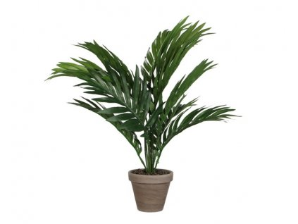 Palma betelová Areca *60x45