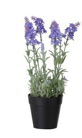 Levandule v černém květináči světle fialová
