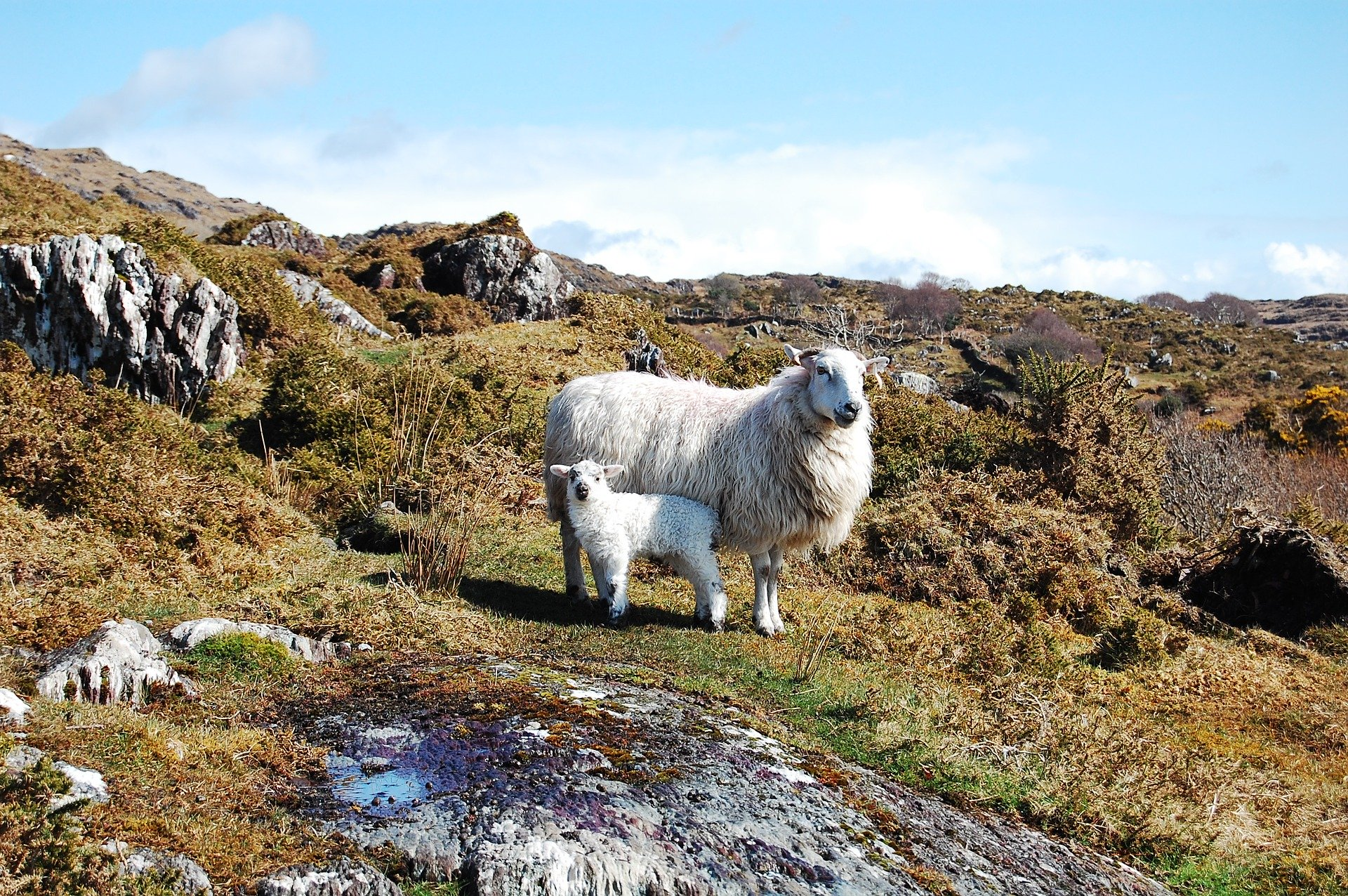 merino-ovce1