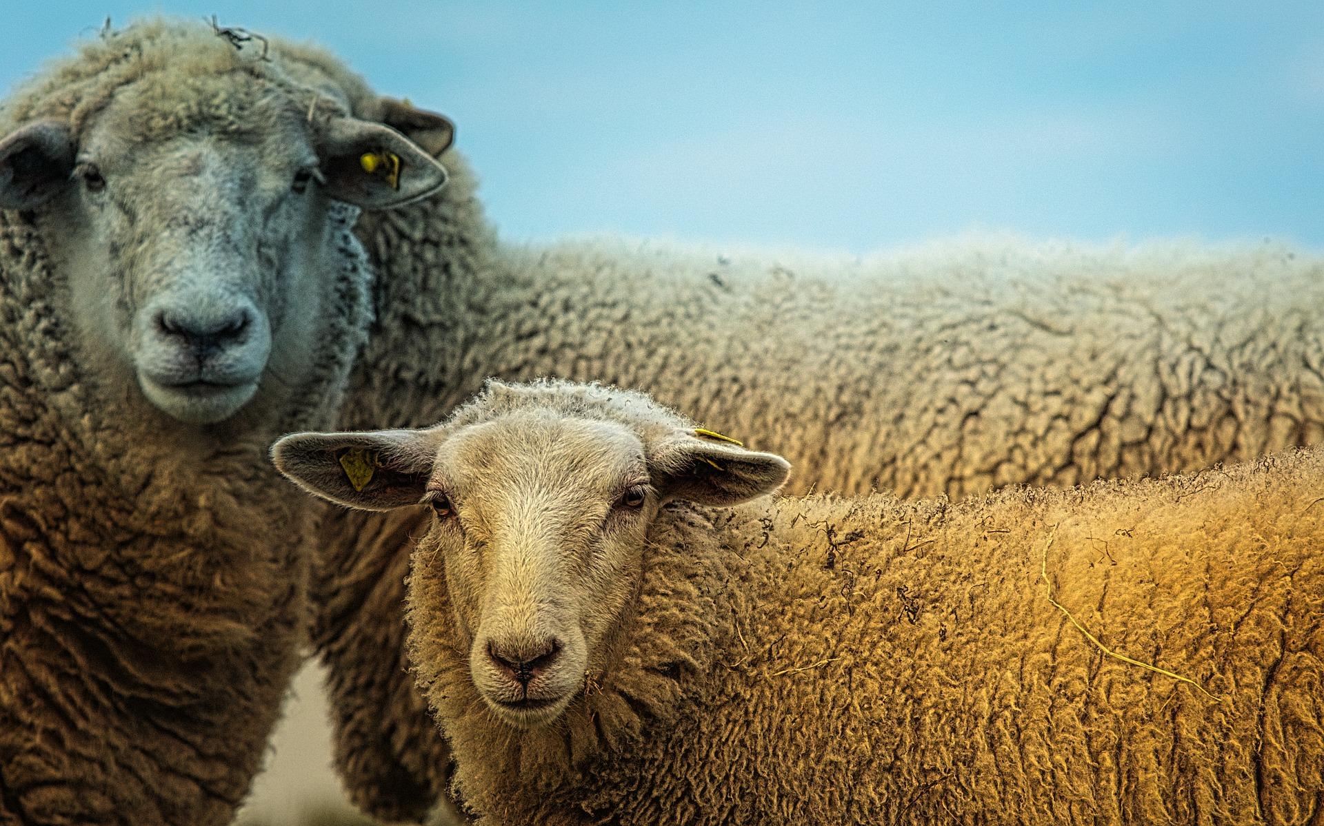sheep-3727049_1920