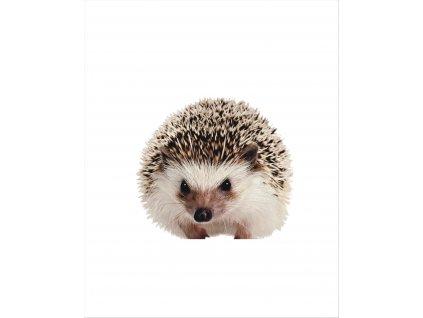 ježek fotka40x50