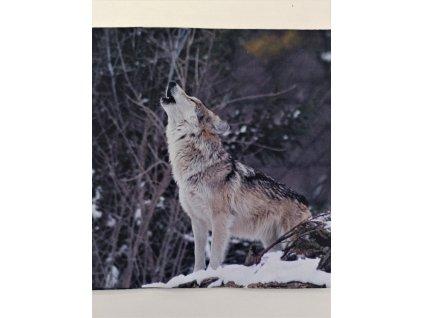 Softshellový zimní panel Vyjící vlk 20x20cm