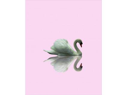 Labuť na růžové