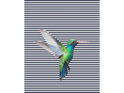 kolibřík proužky