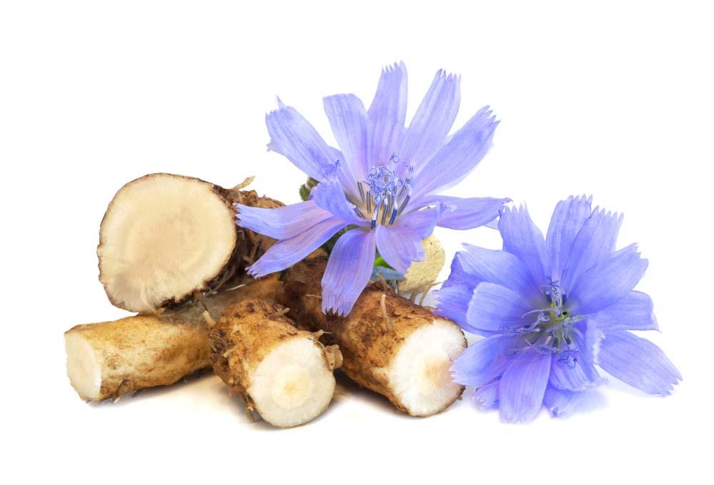 Čekanka obecná Cichorium intybus