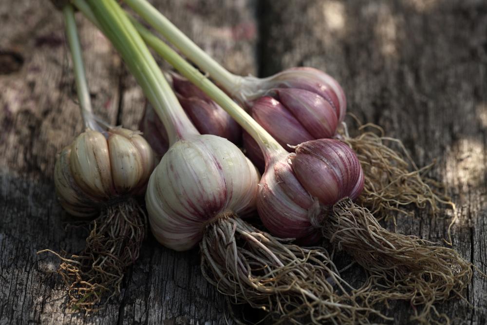 Česnek kuchyňský Allium sativum