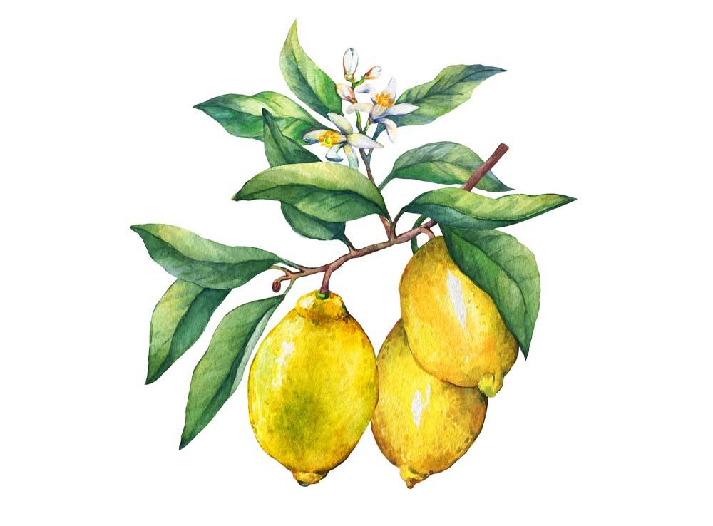 Citroník pravý a další citrusy Citrus limon
