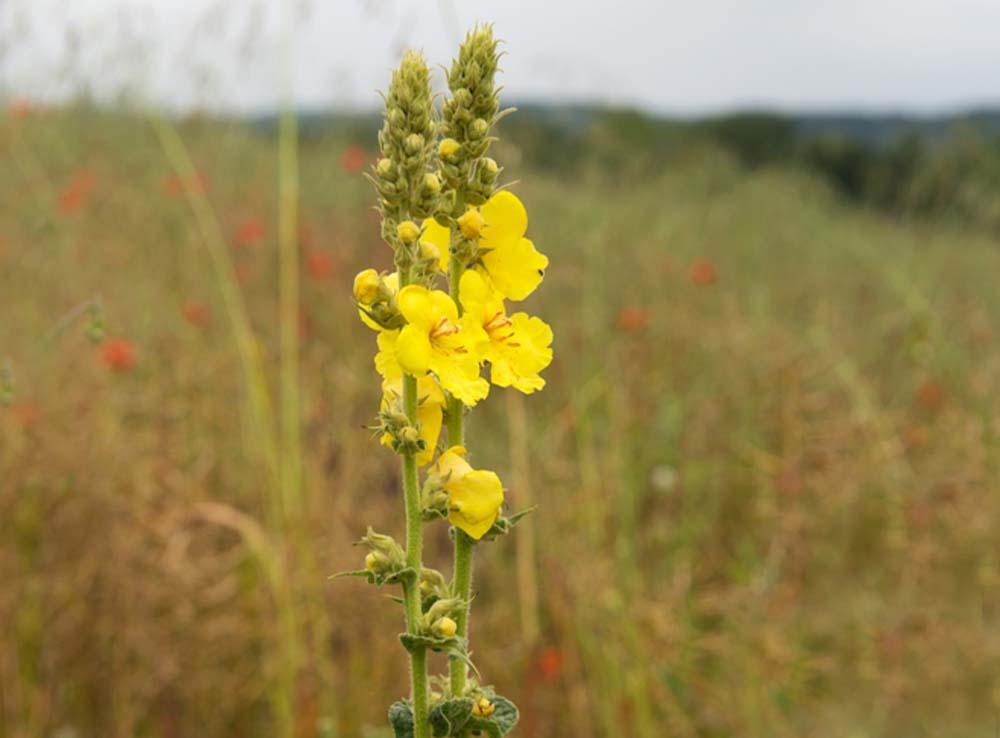 Divizna velkokvětá Verbascum densiflorum