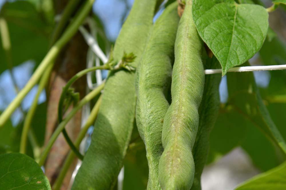 Fazol obecný Phaseolus vulgaris