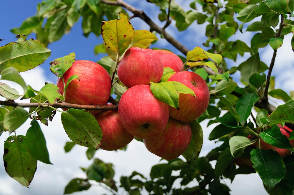 Jabloň domácí Malus domestica