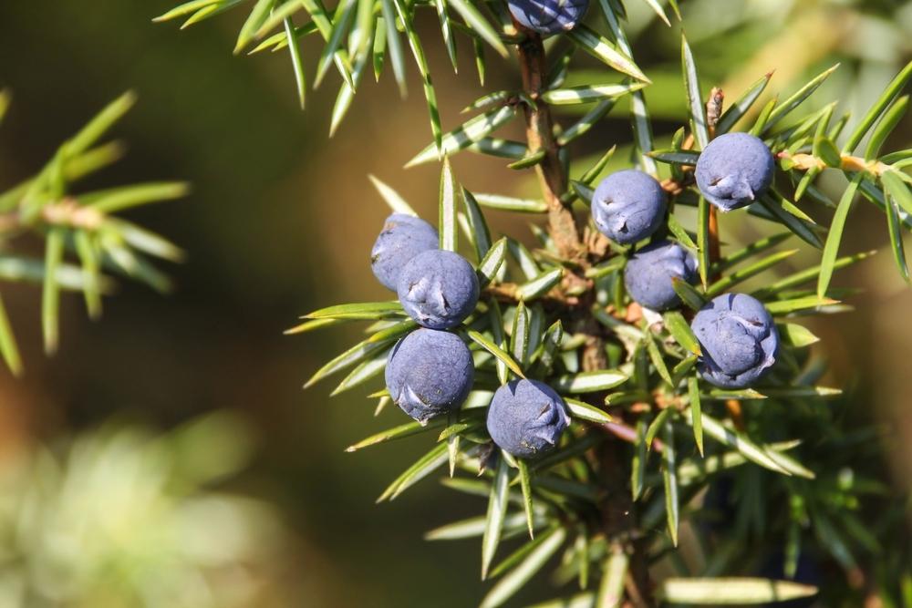Jalovec obecný Juniperus communis