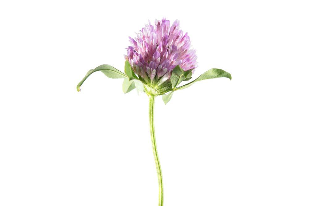 Jetel Trifolium