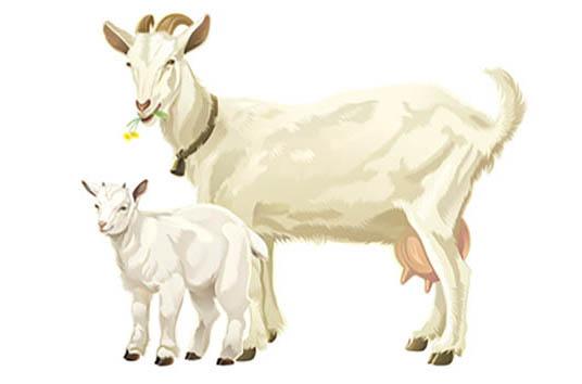 Zázraky z kozího mléka