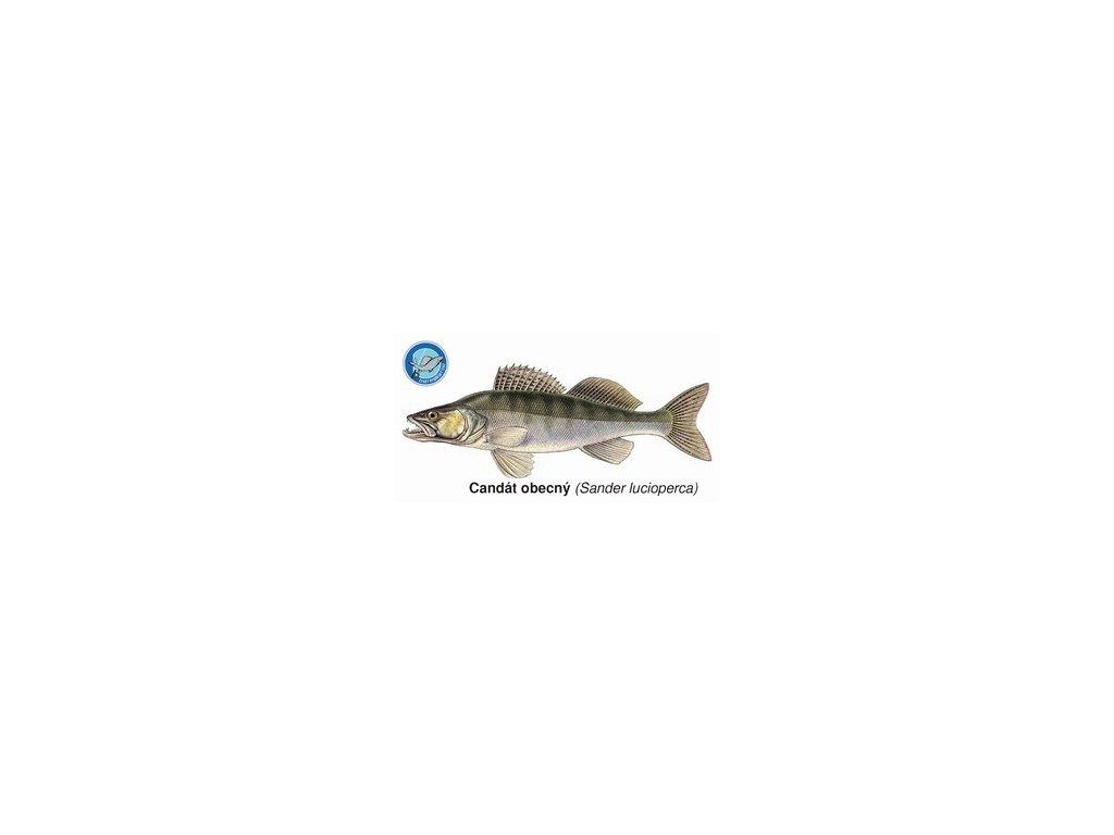 Magnetky ryby našich vod