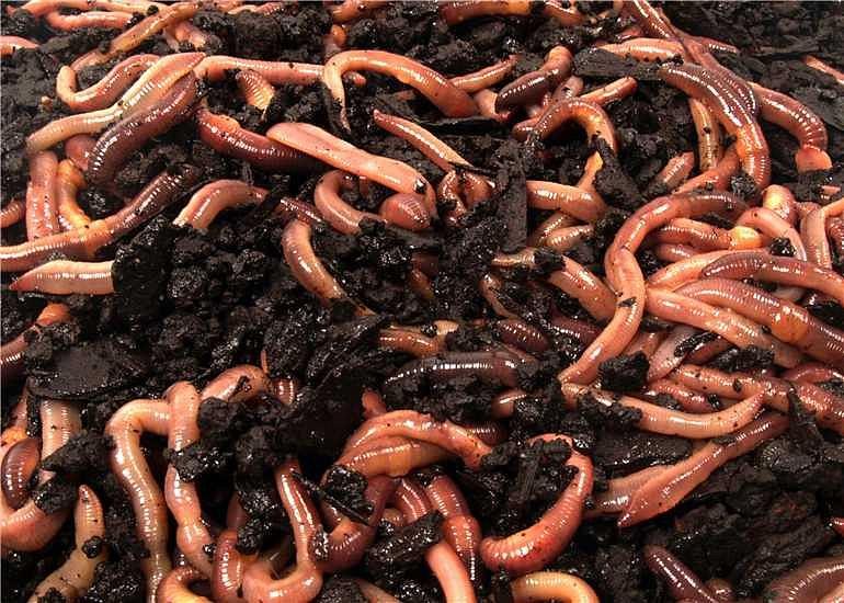 Červi živá nástraha na ryby typ: Rousnice (krabička 10ks)