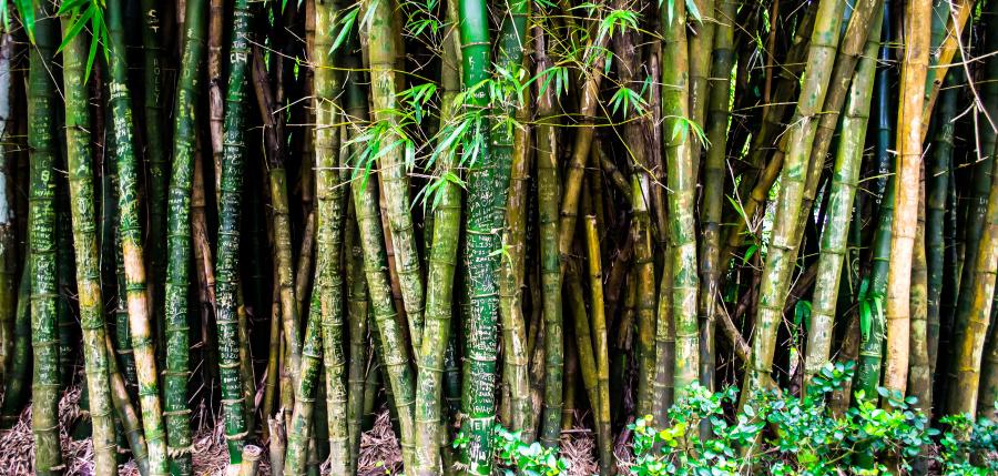 myty-bambus