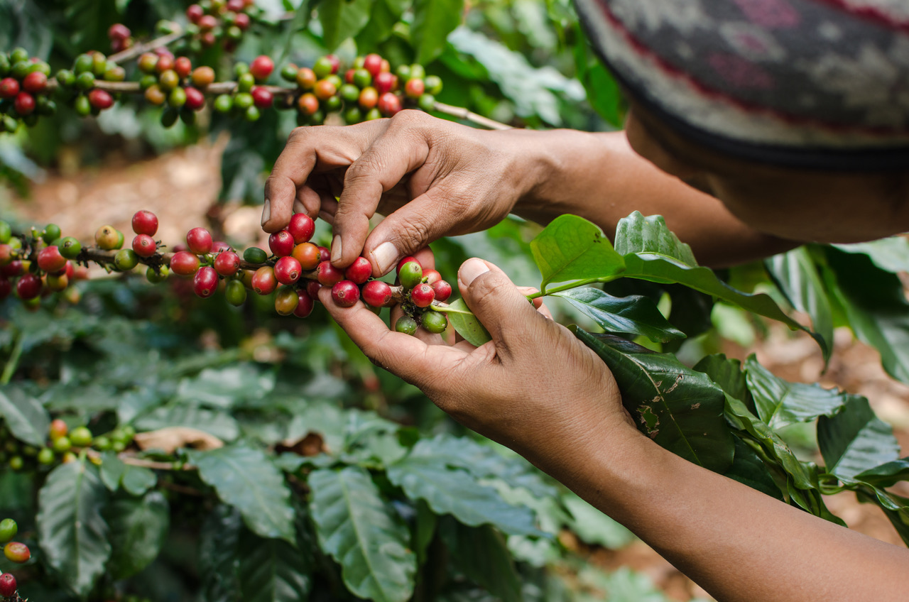 Pestovanie a spracovanie kávy v Kolumbii