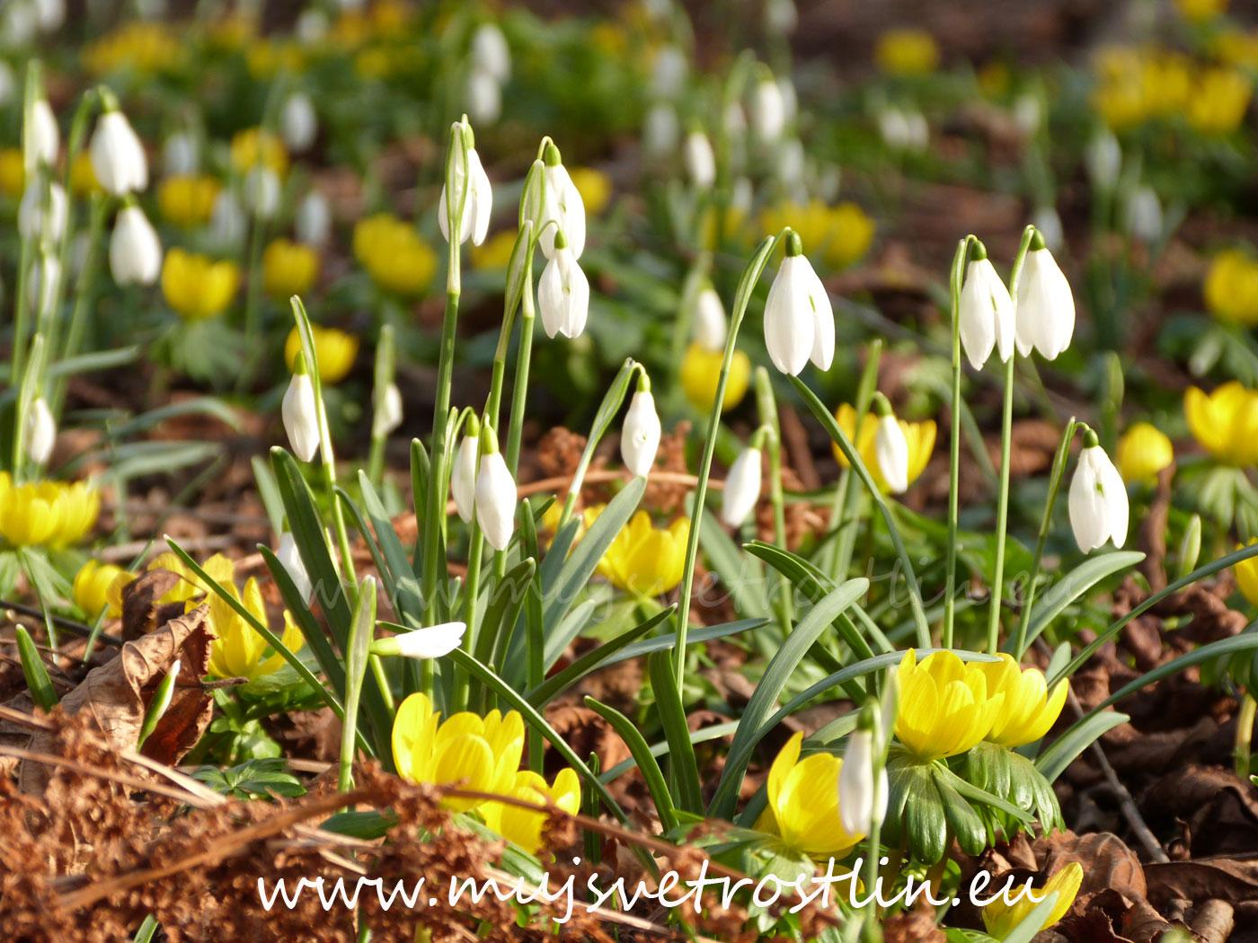 Poslové jara - bledule, sněženky a talovíny