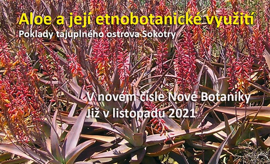 Aloe na Sokotře