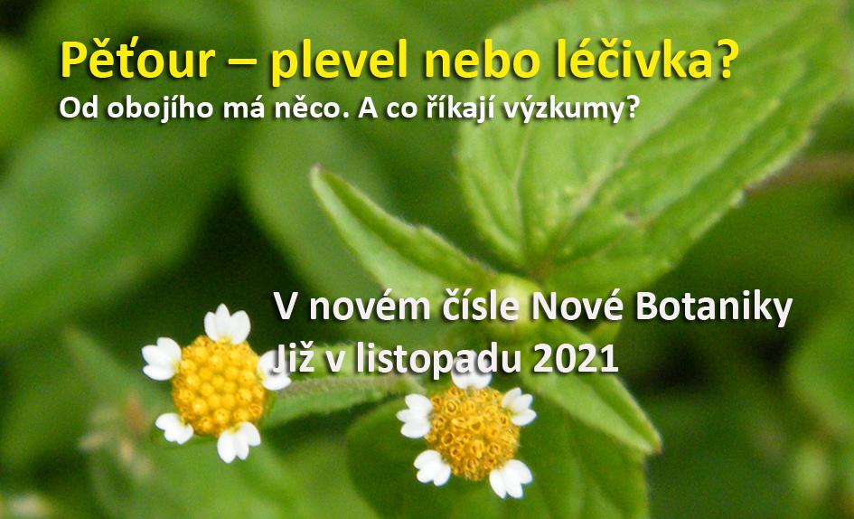 Pěťour - plevel nebo léčivka?