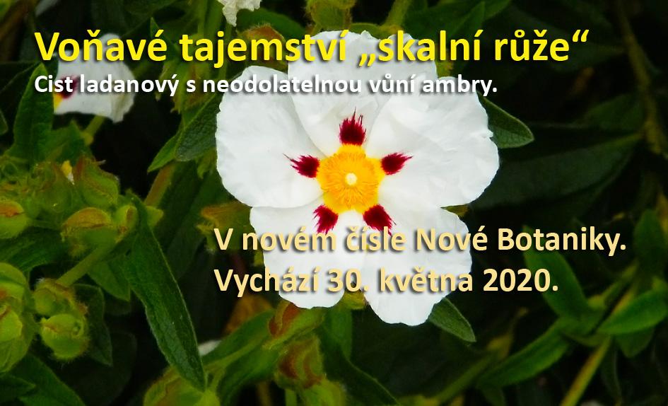 Neodolatelná vůně skalní růže