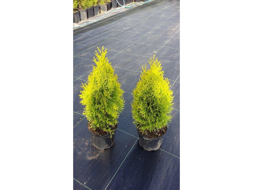 Thuje Golden Smaragd 40 - 50 cm
