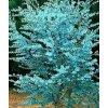eukalyptus2