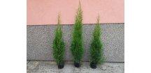 Thuje Smaragd sazenice 50-70 cm