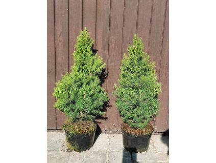 Conica multiflora 40 60cm