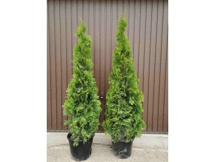 multiflora thuje smaragd 130 150cm