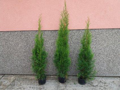 Thuje Smaragd sazenice 40-60 cm