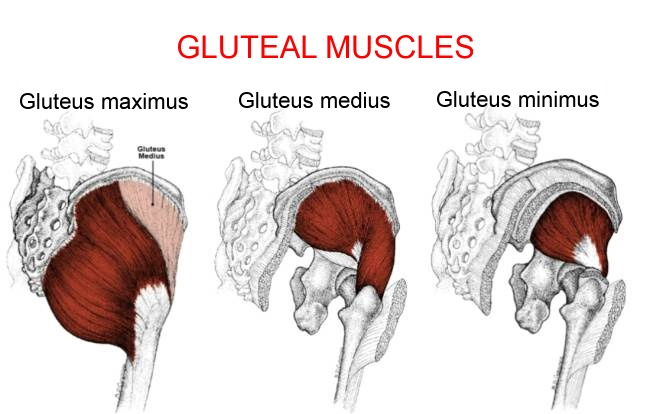 gluteal-muscles-anatomy_1