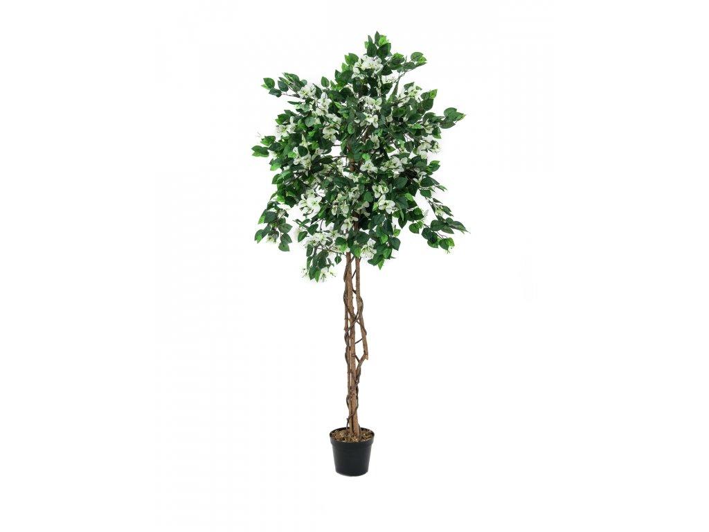 Bougainvillea bílá, 150 cm
