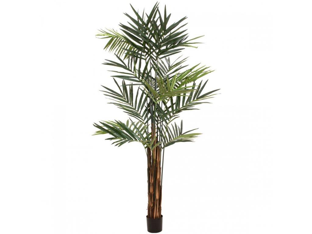 Kentia palma, 300cm