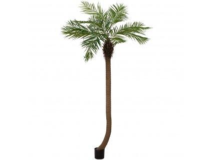 Phoenix palma zakřivená, 240cm